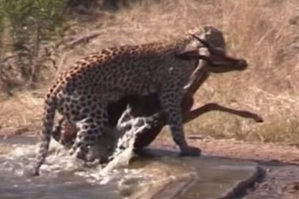 南非一鬣狗欲从花豹口中夺食 反助猎物逃生