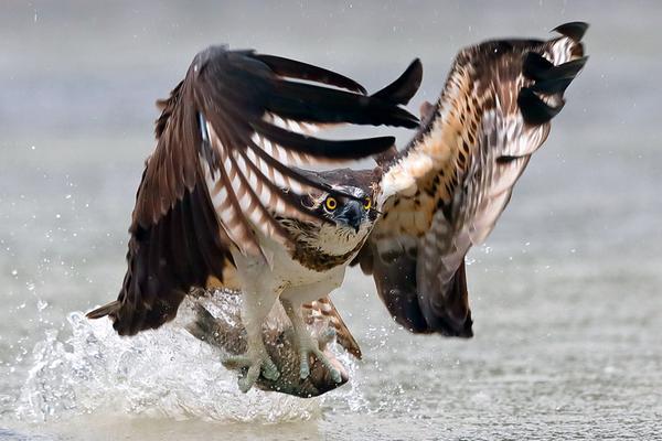 鱼鹰天空俯冲至水面捕鱼 精彩诠释快准狠