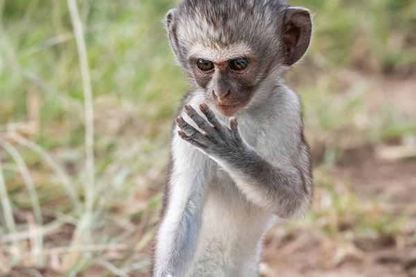 非洲草原猴潜心练习功夫 架势有模有样