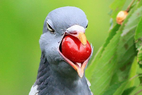 """贪婪鸽子偷食红樱桃 """"卡""""在嘴里表情好呆"""