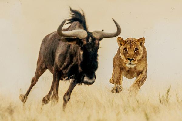 非洲牛羚遭狮子追赶 利用之字形走位成功逃脱