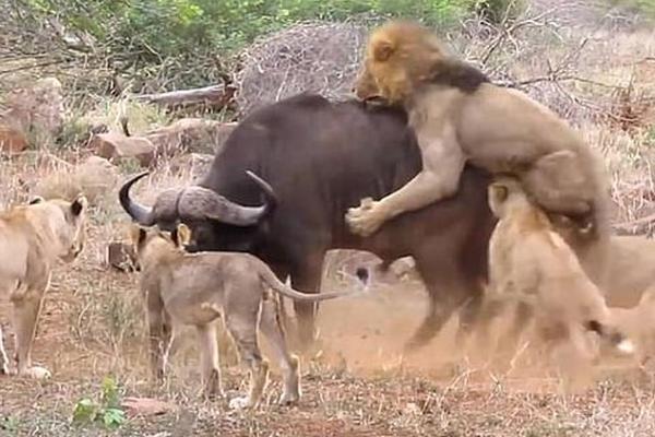南非一水牛招架不住七头饥饿狮子围攻片刻后殒命