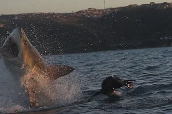 千钧一发!南非海域海豹从大白鲨口死里逃生
