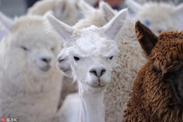 """秘鲁举办国际羊驼剪毛赛 """"草泥马""""被当众薅毛一脸生无可恋"""