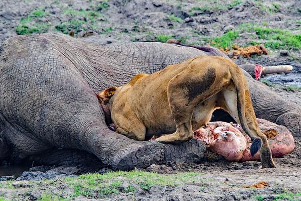 非洲鳄鱼群和狮子蚕食两大象尸体 景象阴森惨烈