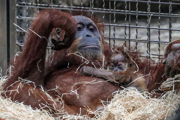 德动物园大猩猩园中遛娃 小宝宝紧贴妈妈胸前超乖巧
