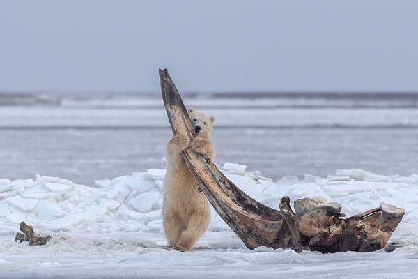 北极熊幼崽享用巨鲸残骸 嬉戏打闹不亦乐乎