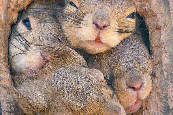 日本4只松鼠争先出巢 脑袋填满树洞惹人喜爱