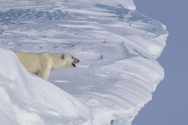 北极熊宝宝不慎跌落冰崖 熊妈惊险冰架攀爬寻子