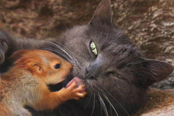 猫妈妈好心收养失去母亲小松鼠:相互依偎非常亲昵