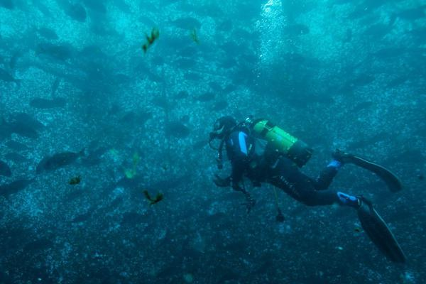 土耳其海上养鱼场鱼群聚集:海鲷和牙鲷杂交繁育新种鱼