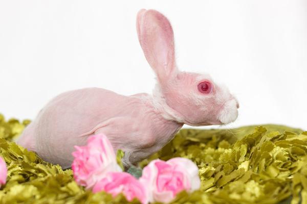 粉红萌兔因罕见病症天生无毛 被救后成小网红人气爆棚