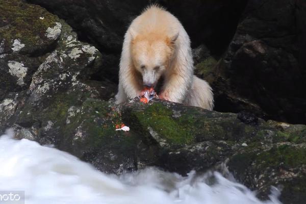 从湍急的河流中熟练捕获三文鱼 这只被拍下的灵熊太可爱