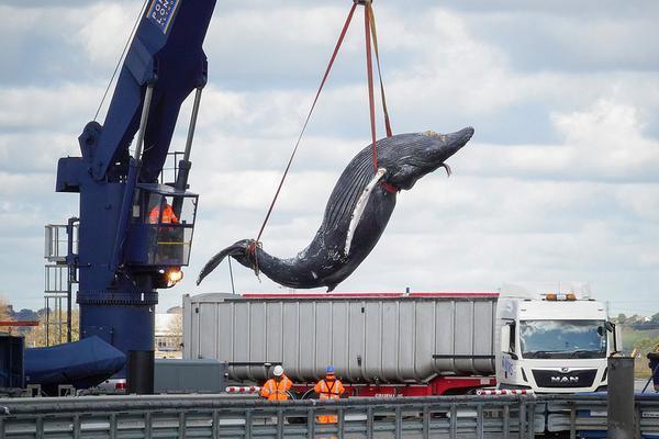 一条小座头鲸误入泰晤士河被船只碰撞死亡