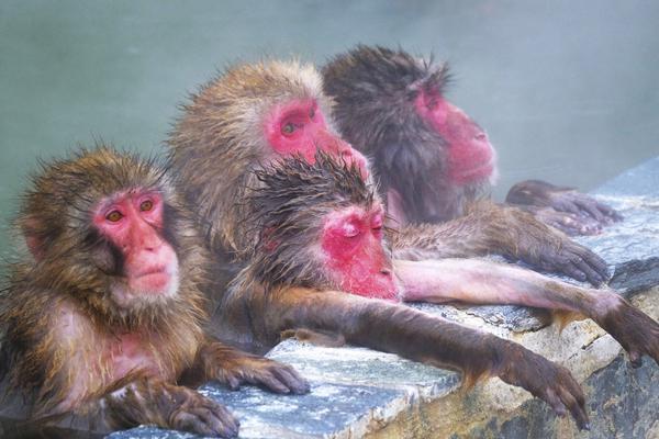 人不如猴!日本猕猴集体泡室外温泉表情爽歪歪