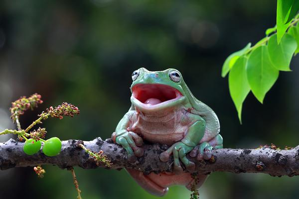 生活更美好:树蛙咧嘴大笑瞬间让人心情舒畅