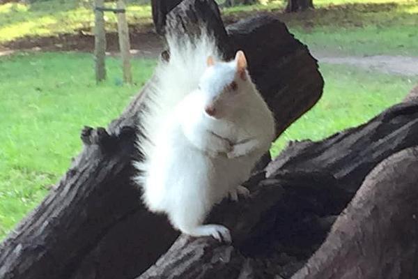 动物保护者偶遇白化松鼠觅食 紧握食物萌翻了