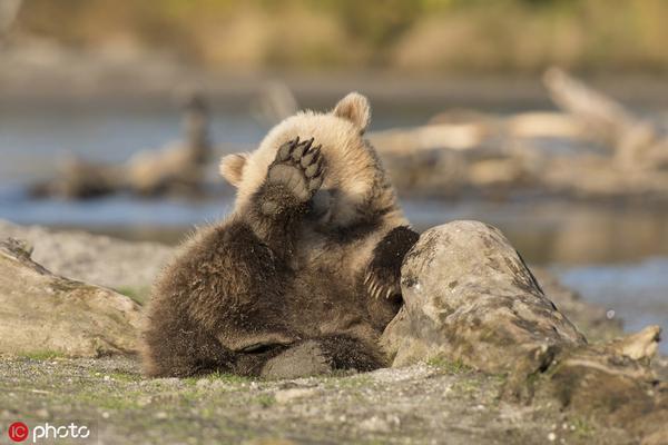 """""""别拍了,本熊羞羞"""" 俄罗斯小棕熊发现镜头用爪捂脸"""