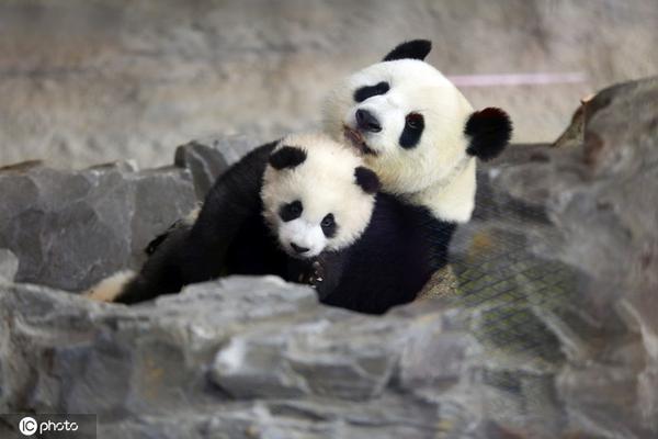 爱子心切 熊猫妈妈陪双胞胎娃儿遛弯儿