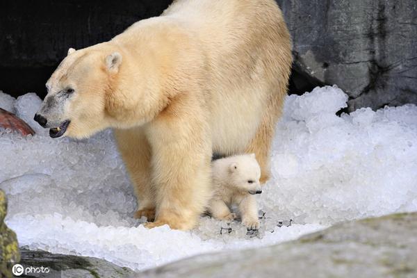 北极熊宝宝首次走出洞穴 好奇探索世界