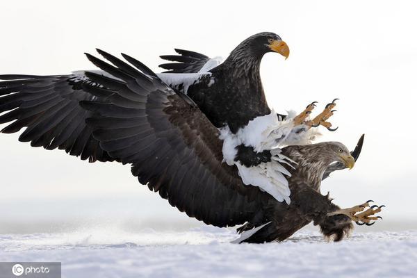 这是有仇?海雕飞行途中觅食遭同类冲撞紧急坠落