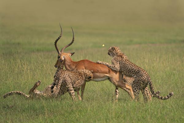 猎豹一家饥肠辘辘 猎捕黑斑羚围追堵截快如闪电