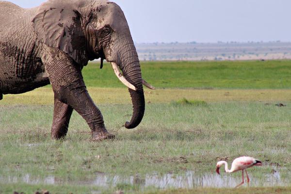 肯尼亚发起大象命名活动 捐款可有机会认养大象