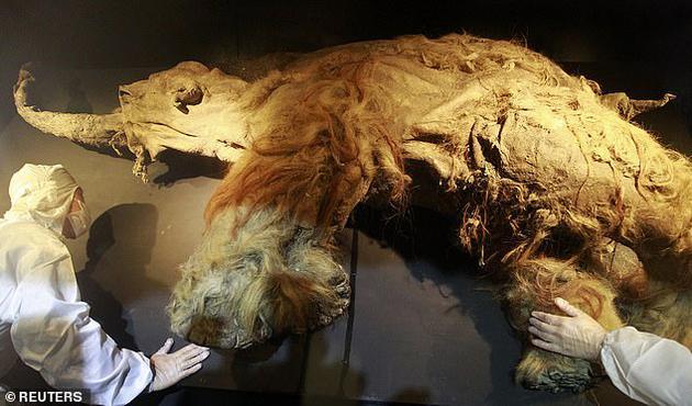 一头死于28000年前的猛犸象的细胞被移植到小鼠体内后,出现了细胞活动的迹象。
