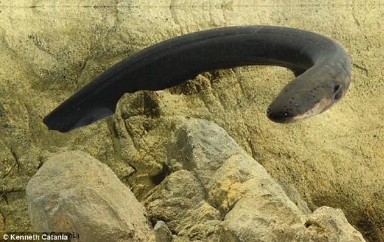 生物学家发现电鳗独特放电方式:可击倒大型猎物