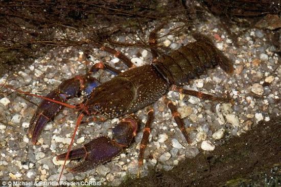 然而,卡塔尼亚教授近日发现,电鳗还有一种攻击模式,专门用来对付较大的猎物,比如龙虾等。在这种模式下,电鳗会先咬一口自己的猎物,用身子紧紧缠住猎物的身体,然后释放出频率比之前高得多的高压电脉冲。