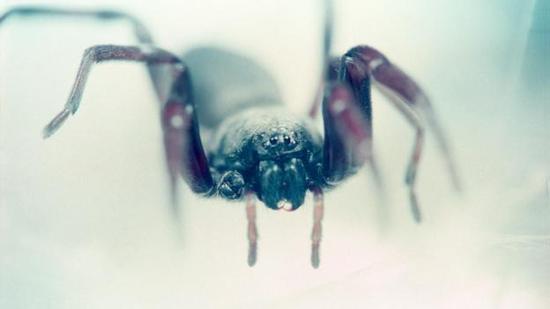 白尾蜘蛛(Lampona cylindrata)有时会在人们睡觉的时候进行叮咬