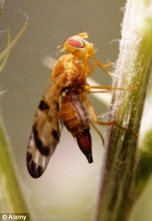 二裂果蝇(Drosophila bifurca)是果蝇科的一个物种