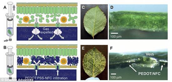 你能找到不同之处吗?研究团队开发出一种能形成电子回路的导电凝胶,通过将凝胶注射到叶片中,研究人员就能控制植物的颜色。