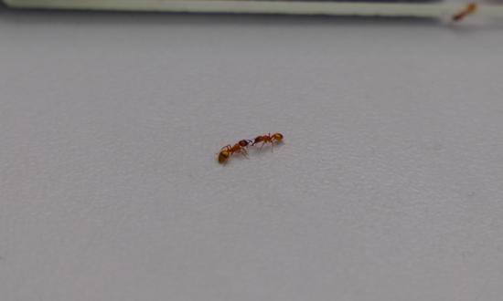实验中,迁移中的石蚂蚁群受到了不同形式的掠食者袭击
