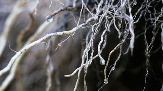 植物的根系是真菌的安家之所