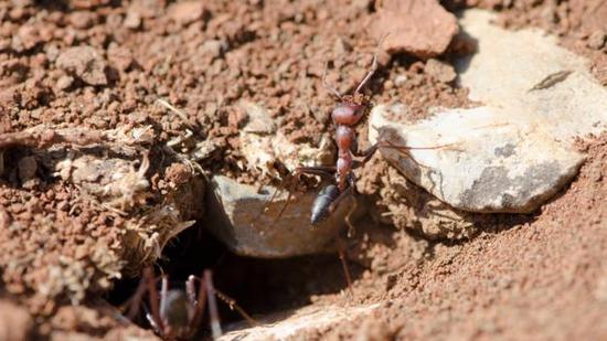 拥有钻洞习性的动物,比如蚂蚁,正在改变着土壤的性质与面貌