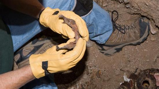 一位专家在检验人类颌骨。
