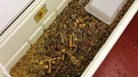 甲虫撕去了骨头表面的组织,帮助科学家们能够掌握尸体正常腐烂的情况。