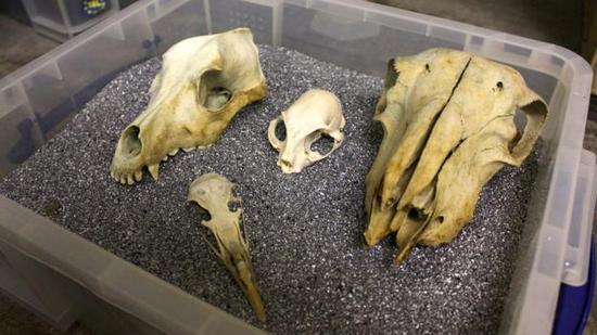 由于对各种骨骼已了如指掌,布莱克仅需一瞟就可以判断骸骨是属于动物还是人类。