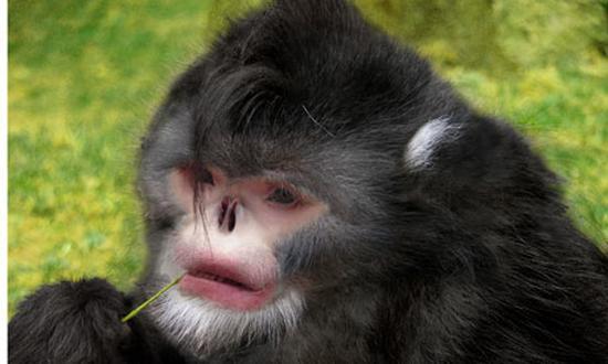 喜马拉雅山区东部:伏地魔猴子