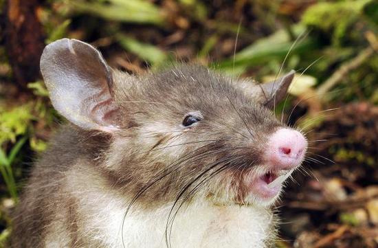 """印尼苏拉威西岛,长着""""猪鼻子""""的老鼠"""