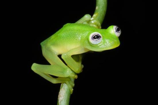 """中美洲哥斯达黎加地区:真实版""""小青蛙柯密特"""""""