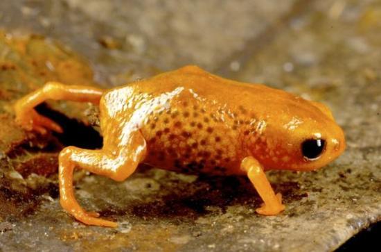 秘鲁安第斯山区:指甲盖那么大的南美蛙类