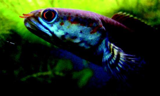 """喜马拉雅山地区,会""""走路""""的蛇头鱼"""