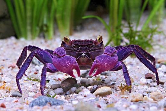 """印尼爪哇岛海域:""""吸血鬼""""螃蟹"""