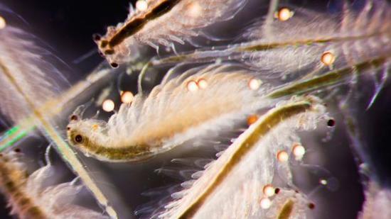 一群卤虫在游动。