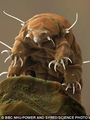 水熊虫是缓步动物门生物的俗称,能在许多极端的环境中存活。尽管外表很不起眼,但体型细小、身体分节的水熊虫却具有各种各样的形态。世界上有超过900种水熊虫,分布在各种环境中,从喜马拉雅山脉到深海都可以发现它们的身影。