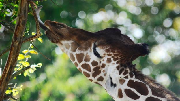 长颈鹿的脖子过去比现在短得多。