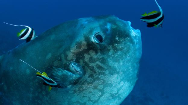 动物生殖能力大比拼:翻车鲀鱼一次产约3亿卵子