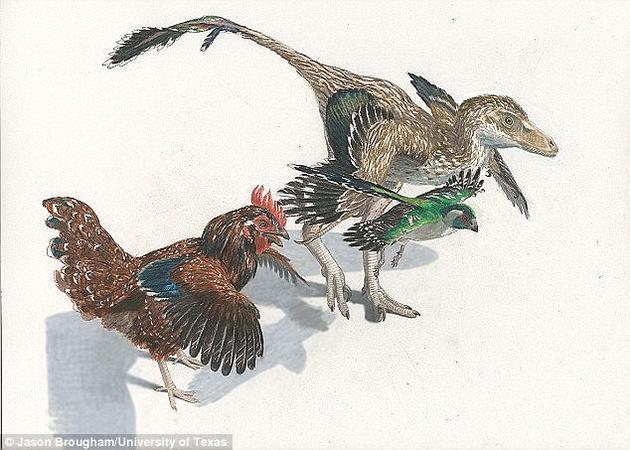 """智利科学家找到了一种再现恐龙特征的方法。在一个""""逆向演化""""实验中,研究者操纵鸡的基因诱导生成了类似恐龙腿骨的结构。"""